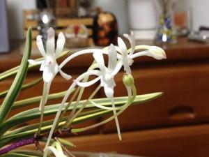 富貴蘭の花